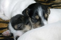2-tiny-puppies.jpg