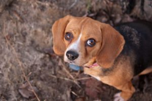 This is a Cavalier King Charles Spaniel Beagle mix that is called a Beaglier hybrid dog.