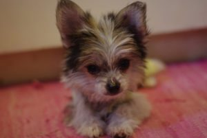 This is a Chihuahua Chinese Crested mix breed dog that is called a Chi-chi hybrid dog.