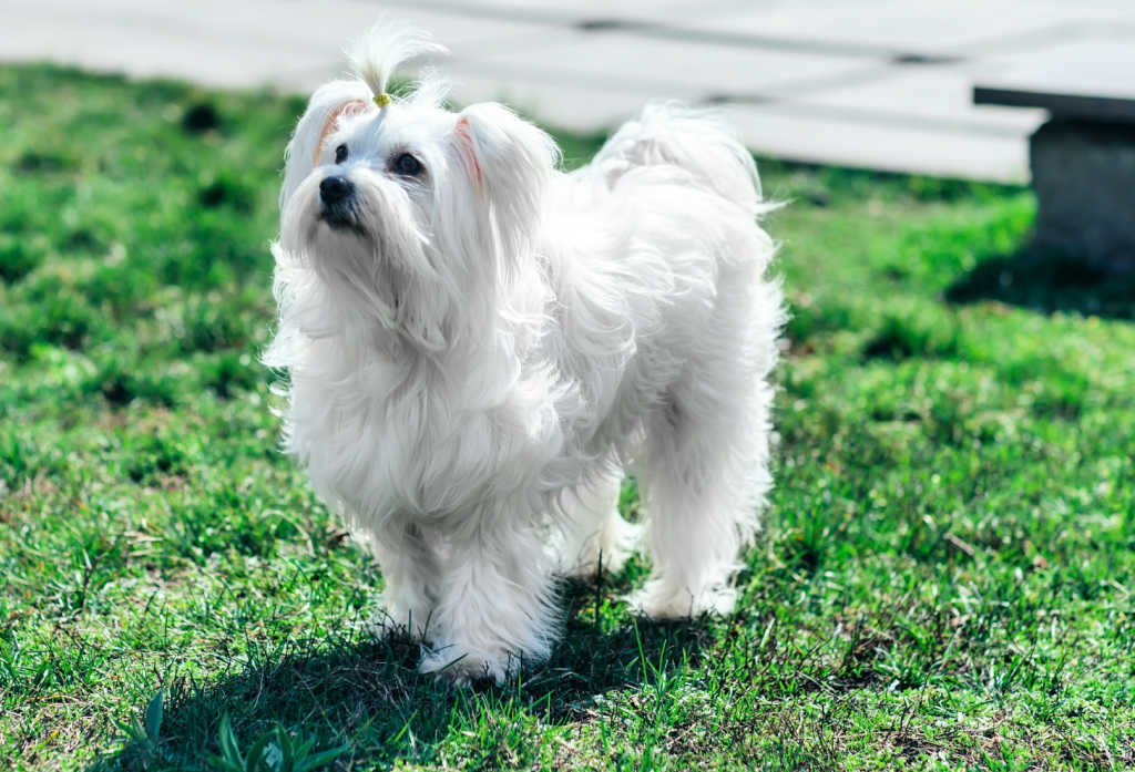 The Coton de Tulear is one of the top 19 Hypoallergenic dog breeds for people with pet allergies.
