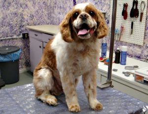 This is an English Toy Spaniel dog and Cavalier King Charles Spaniel mixed breed dog that is called an English King Spaniel hybrid.