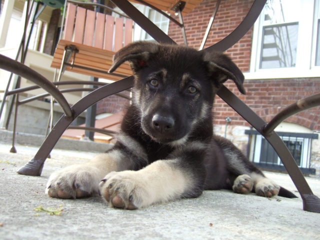 This is a German Shepherd puppy.