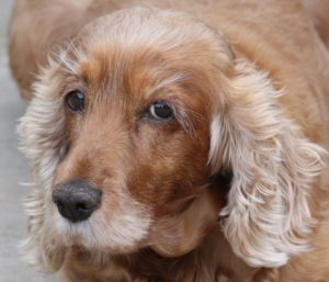 This is a Golden Retriever and Cocker Spaniel mix breed dog that is called a Golden Cocker Retriever hybrid.