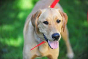 This is a Golden Retriever and Labrador Retriever mixed breed dog that is called a Golden Lab hybrid dog.