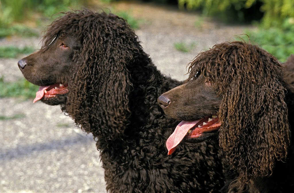 The Irish Water Spaniel is one of the top 19 Hypoallergenic dog breeds for people with pet allergies.