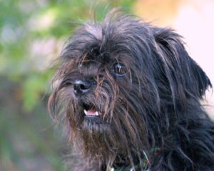 This is a Maltese and Shih Tzu mix breed dog that is called a Mal-shi hybrid.