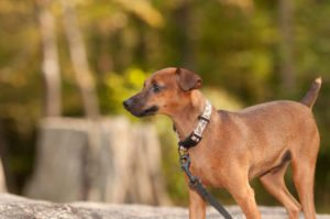 This is a Miniature Pinscher and Cocker Spaniel mix breed dog that is called a Cockapin hybrid dog