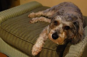 This is a Miniature Schnauzer and Poodle mix that is called a Schnoodle hybrid dog.