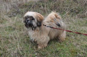 This is a Papillon and Shih Tzu mix breed dog that is called aPapastzu hybrid dog.