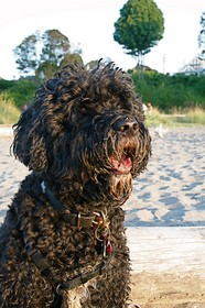 Portuguese-Water-Dog-at-the-beach-by-DragonWoman.jpg