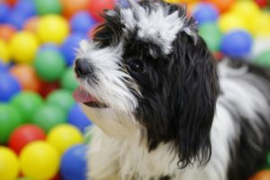 This is a Shih Tzu and Havanese mix breed dog that is called a Havashu hybrid dog.