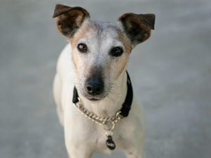 This is a Toy Fox Terrier and Jack Russell Terrier mixed breed dog that is called a Foxy Russell hybrid dog