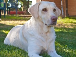 This is a Weimaraner Labrador Retriever mix breed dog that is called a Labmaraner hybrid dog