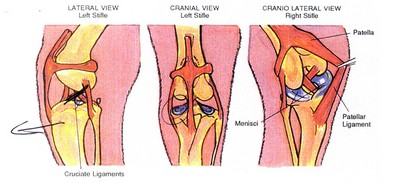 a-dogs-acl-torn-ligament.jpg