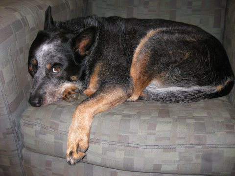 Can dogs eat turkey? Yes, But this dog has canine pancreatitis from eating TOO MUCH turkey.