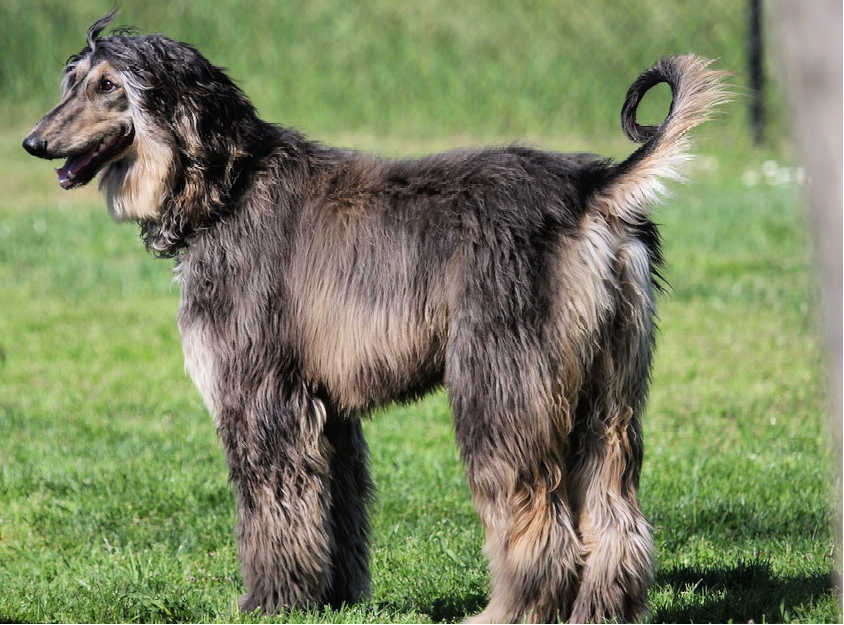 The Afghan Hound is one of the top 19 Hypoallergenic dog breeds for people with pet allergies.