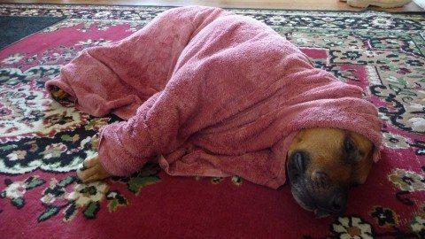 Dog is chillin after a bath! There's more to dog grooming than just giving your dog a bath though - see how to clean and care for the rest of your dog's body parts!