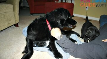 Older Dog Is Aggressive With Puppy? (Mine Was Too) My Best Tips For Dealing With Dog Agression
