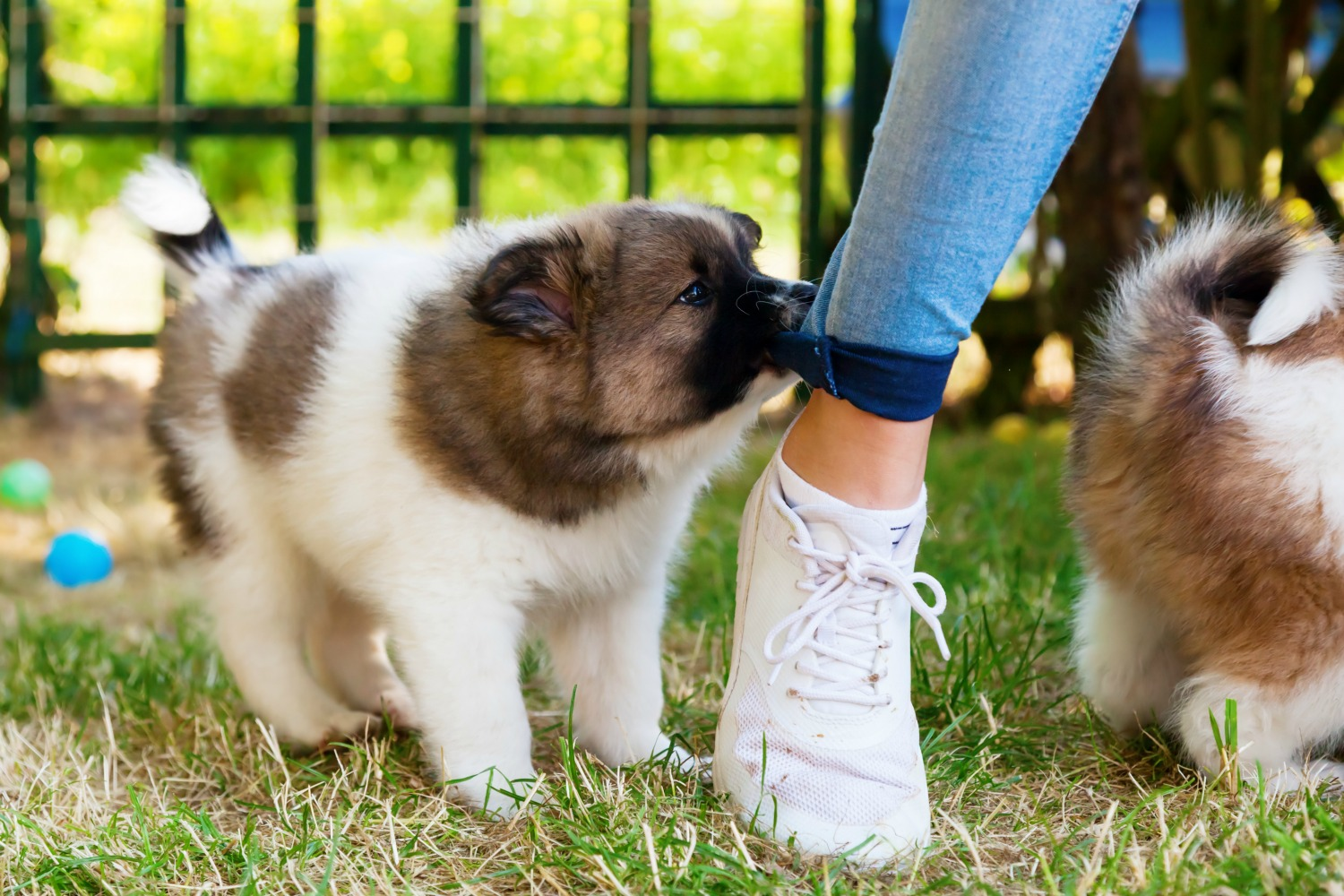 See how to stop your puppy from nipping at your feet and legs... and clothes!