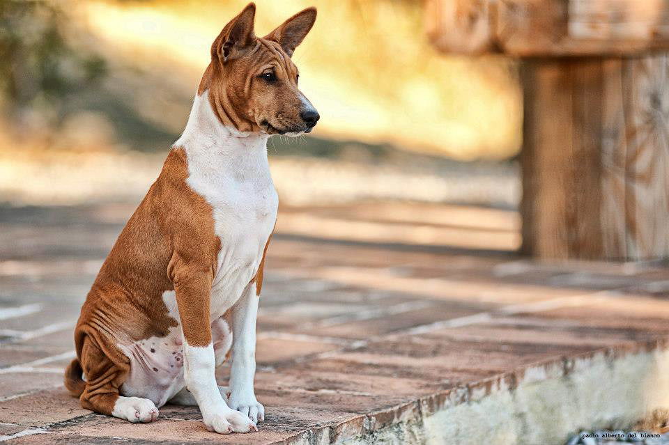 The Basenji is one of the top 19 Hypoallergenic dog breeds for people with pet allergies.