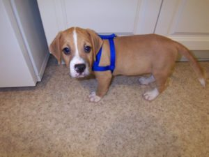 This is a Bulldog Beagle mix breed dog that is called a Beabull hybrid dog.