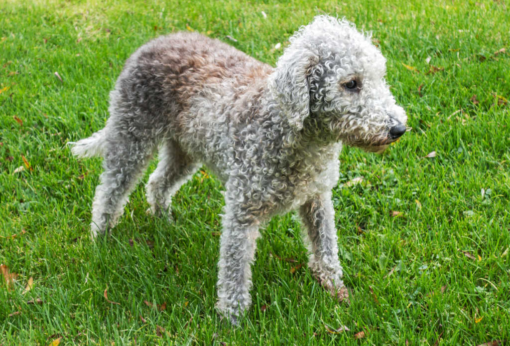 The Bedlington Terrier is one of the top 19 Hypoallergenic dog breeds for people with pet allergies.