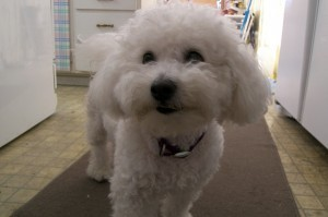 bichon-dog-happy