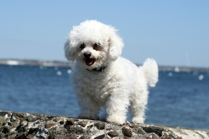 bichon-frise-dog-beach