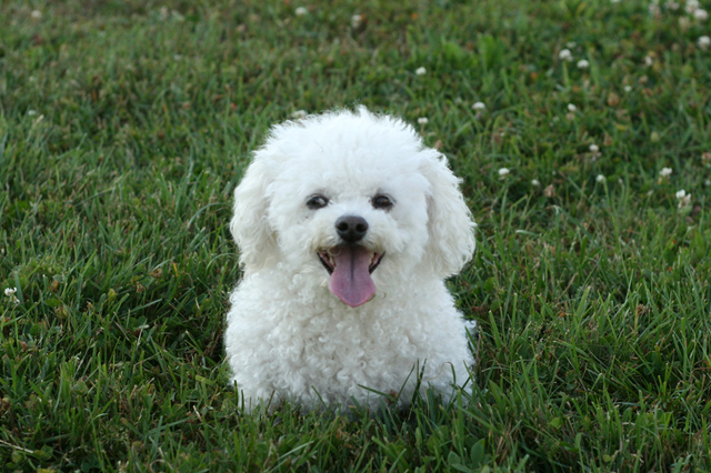 Want To Adopt A Bichon Frise Dog Pros Amp Cons Of Bichon