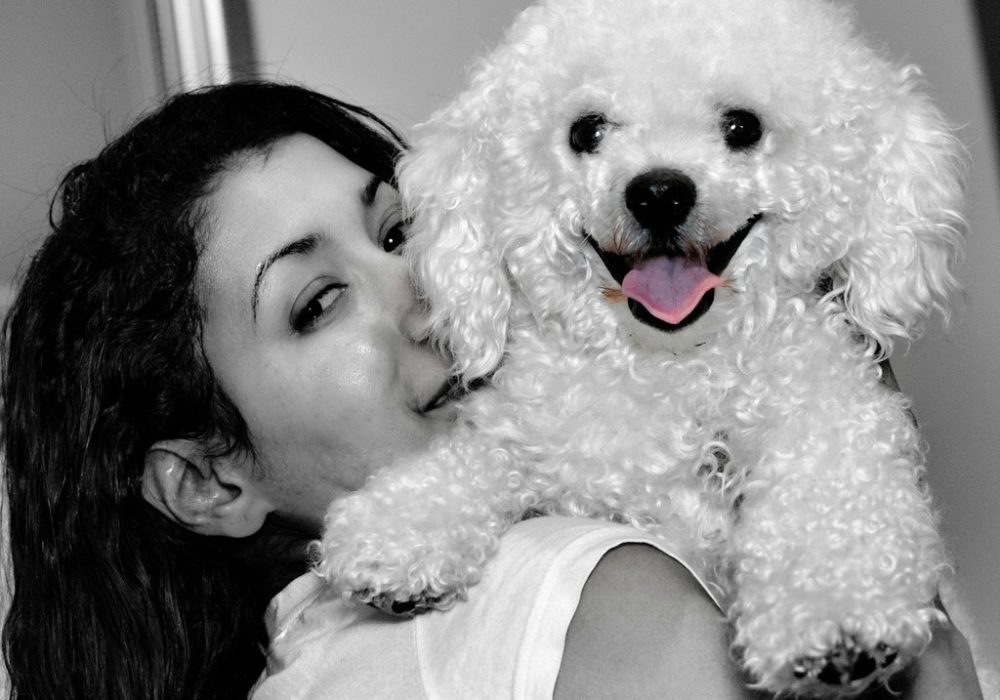 want to adopt a bichon frise dog pros cons of bichon dogs the