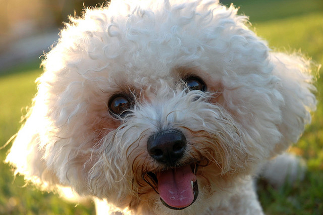 Want To Adopt A Bichon Frise Dog? Pros & Cons Of Bichon ...
