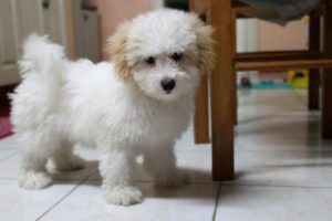 This is a Bichon Frise and Maltese mix breed dog that is called a Maltichon hybrid dog.