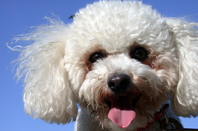 Want To Adopt A Bichon Frise Dog? Pros & Cons Of Bichon Dogs