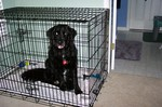 Our big dog inside a big dog crate.