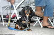 black-and-tan-miniature-daschund-at-races.jpg