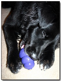black-dog-with-blue-kong.jpg