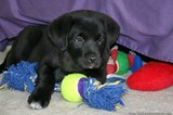 black-lab-puppy-with-new-dog-toys.jpg