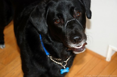 black-lab-with-drool-over-his-nose.jpg