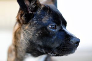 This is a Boston Terrier and Boxer mix that is called a Miniature Boxer hybrid dog