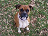 boxer-bulldog-mix.jpg