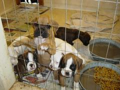 boxer-puppies-ready-for-new-homes-by-boxercab.jpg