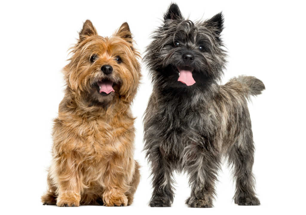 The Cairn Terrier is one of the top 19 Hypoallergenic dog breeds for people with pet allergies.