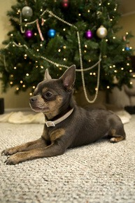 chihuahua-dog-under-the-tree-by-tim7423.jpg