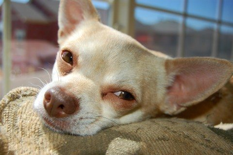 chihuahua-in-deep-thought-by-crispee.jpg
