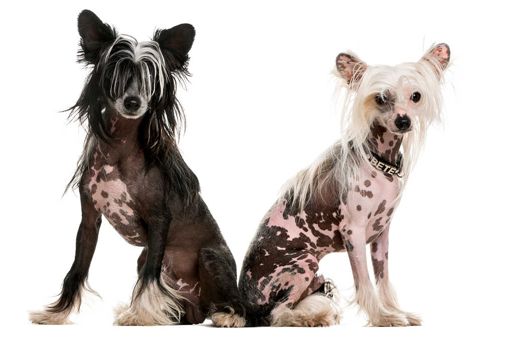 The Chinese Crested is one of the top 19 Hypoallergenic dog breeds for people with pet allergies.