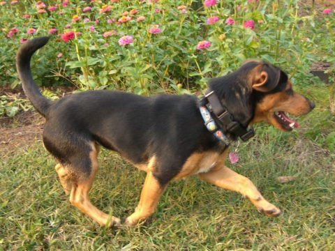 chiweenie-dog-chihuahua-and-dashchund