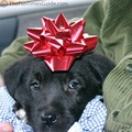 Tenor, our Christmas puppy.
