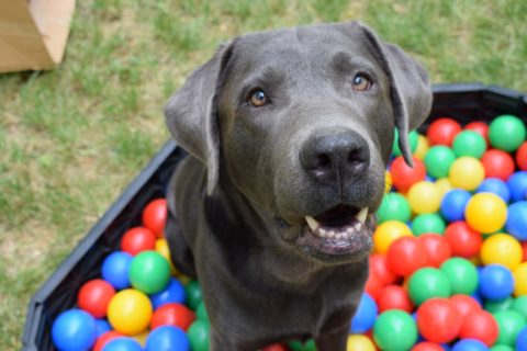 A dog surrounded by colorful balls in every color of the rainbow - what is the best color for dog toys?