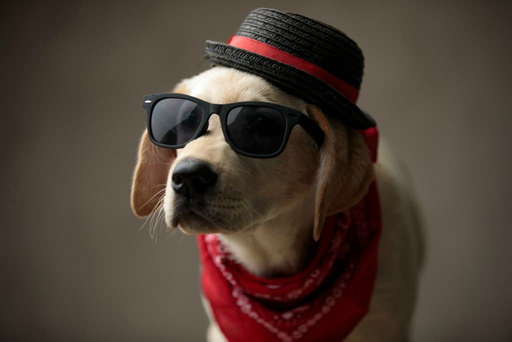 This dog is just too cool - comfortable wearing various items for a dog costume.