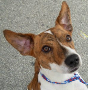 This is a Jack Russell Terrier and Corgi mix breed dog that is called a Cojack hybrid dog.